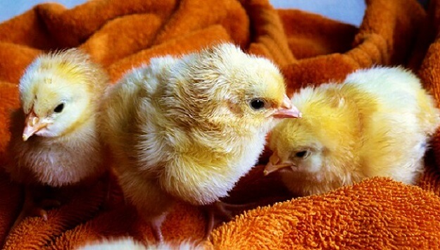 Where to get baby chicks