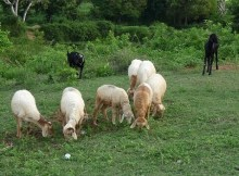 Clearing brush with goats & sheep