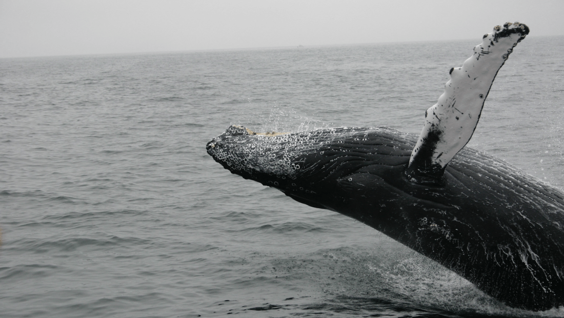 whales fighting climate change