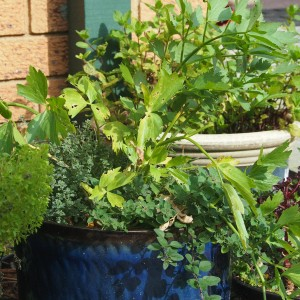 large painted ceramic pots containing mint, oregano, lovage, thyme and lettuce.