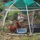 Small chook dome housing three hens, two brown and one white