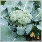 a broccoli head sitting in the middle of a large plant, ready to pick