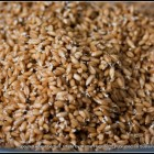 a sieve full of sprouted wheatberries. The sprouts are just sprouted with the sprout perhaps one third to half as long as the seed.
