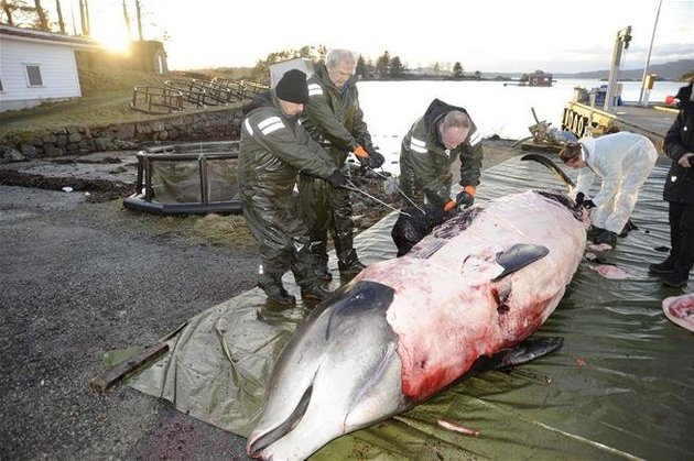 Goose-beaked whale with stomach full of plastic bags and trash likely starved due to intestinal blockage and was finally euthanized after repeatedly beaching itself (huffingtonpost.com)
