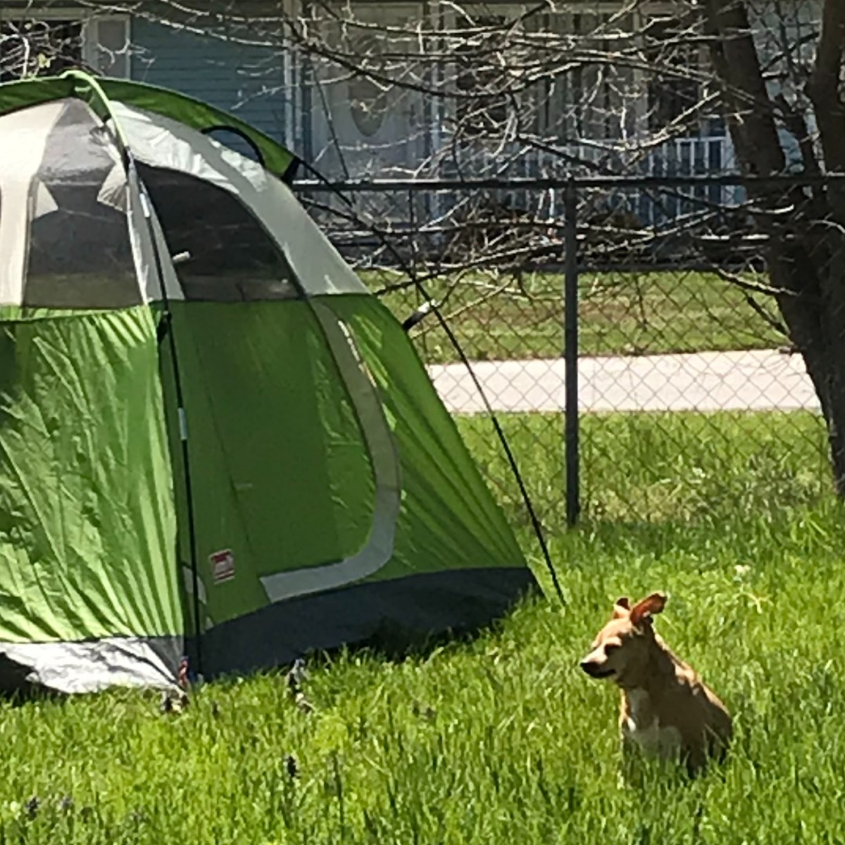 Dog stands next to tent in backyard