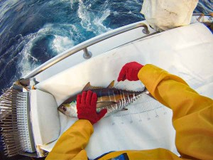 A person on a boat at sea inserts a tag into a live tuna so it can be traced for research. Photo: Pacific Community.