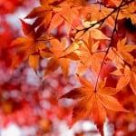 Лечение суставов кленовыми листьями помогает или нет рецепты и советы