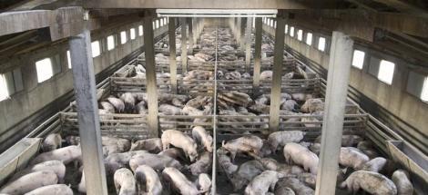 fa-industrial-cafo-pigs