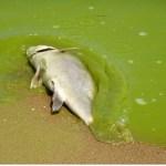 dead-fish-algal-bloom