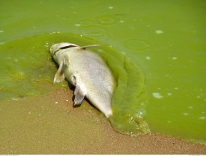 photo of dead fish in algae