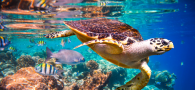Sea turtle with fish