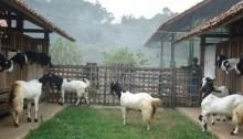 kambing etawa