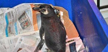 pingüino herido