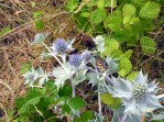 Meadow brown, Grayling