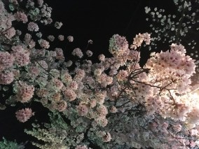 Cherry blossoms really close to Kamesei Ryokan.