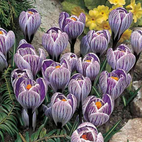 Crocus Bulbs - Pickwick - View All Bulbs - Flower Bulbs ...