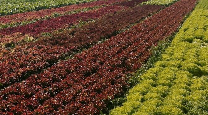 Salaatti nro 77 – Sitruunainen katkarapusalaatti