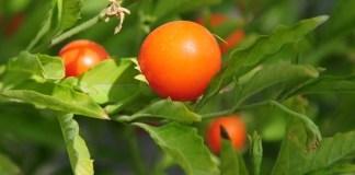 अश्वगंधा के 18 फायदे / लाभ – Ashwagandha Benefits in Hindi Plant Uses Jankari