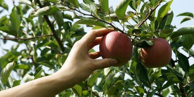القبض على جنود يسرقون التفاح للإتجار به