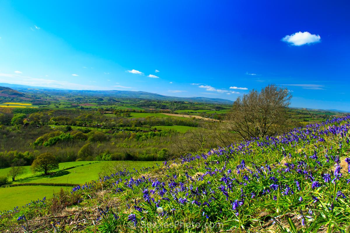 bluebells walsgrove hill