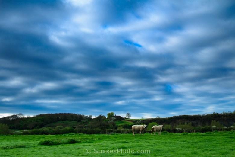 sheep ashleworth meadows