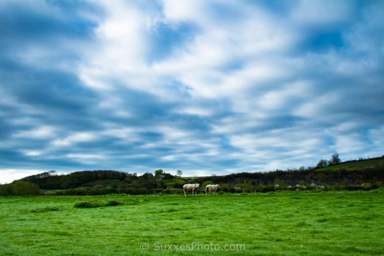 sheep ashelworth meadows