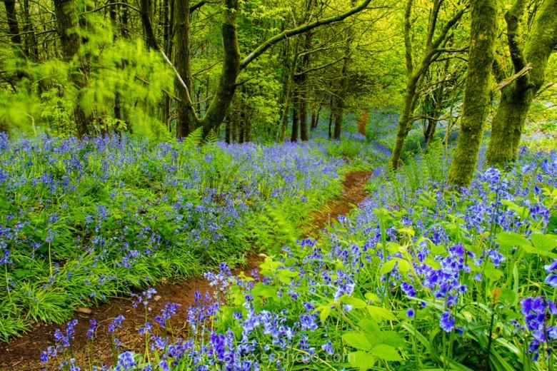 bluebells woodland path