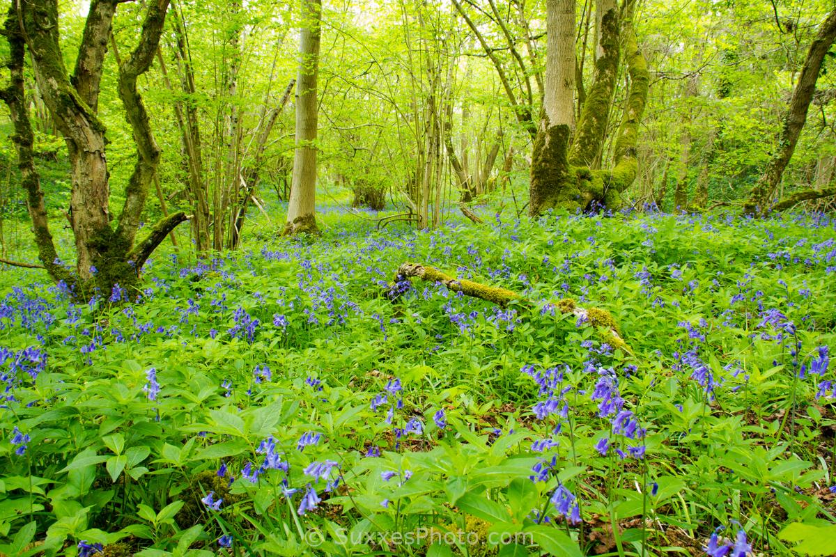 bluebells nottingham hill