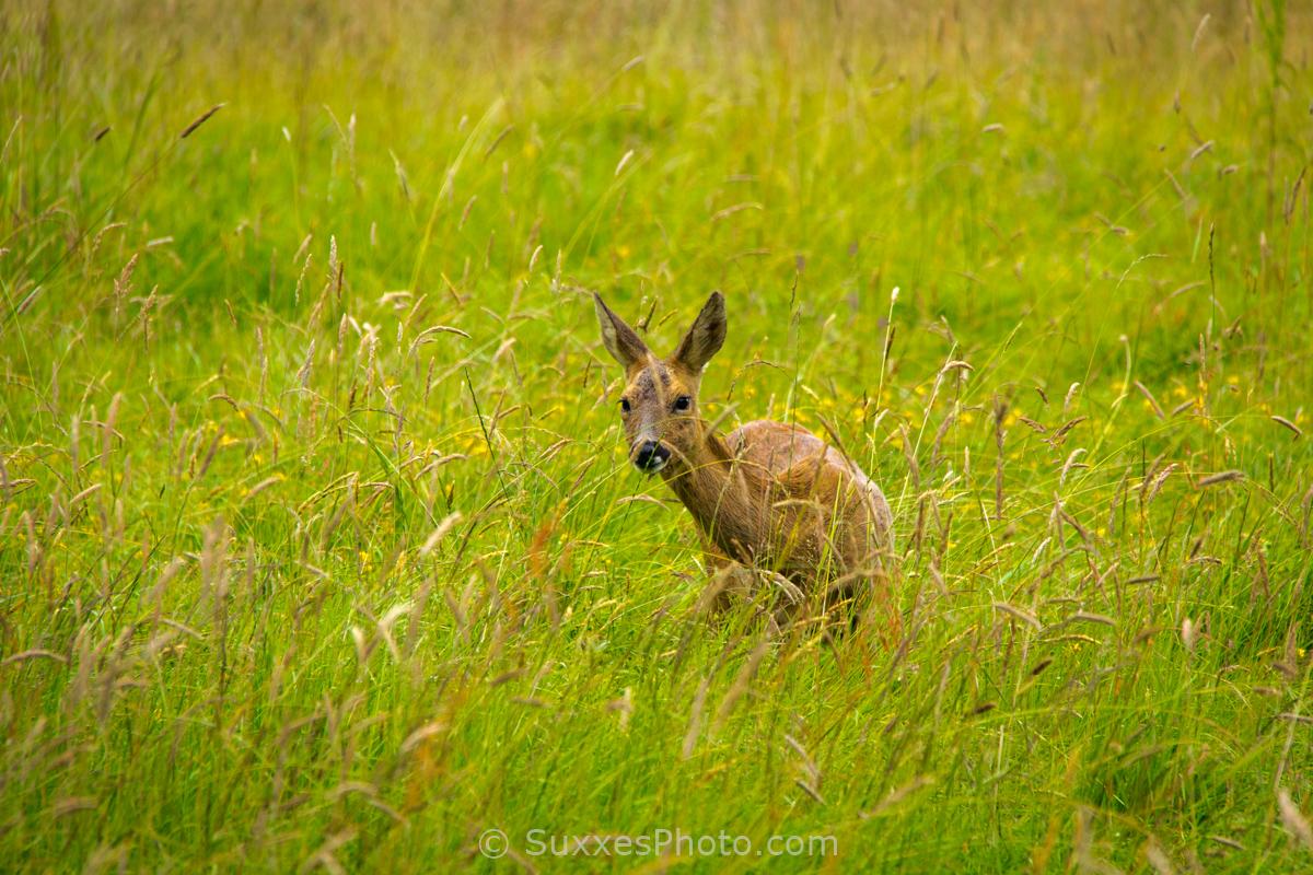 doe sussex border meadow