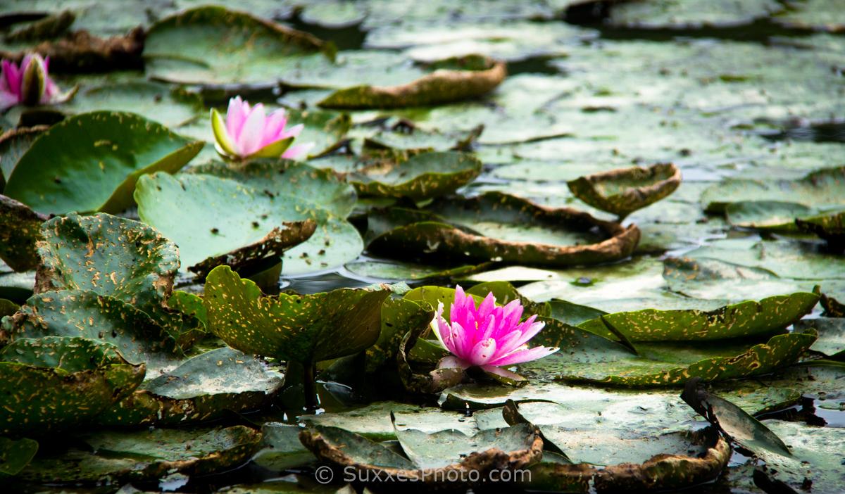 pink lilies on lake surrey