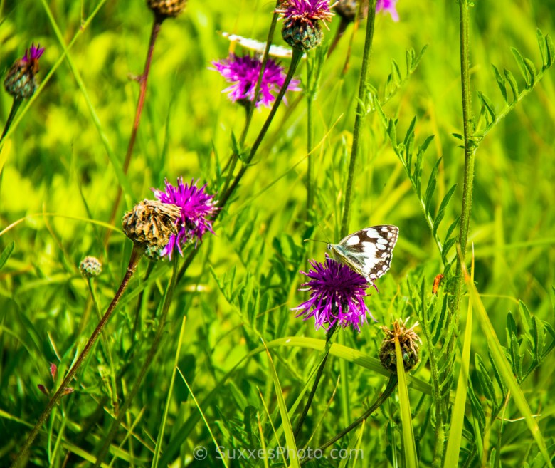 coastal butterflies dorset