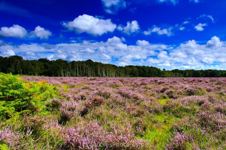 heather new forest