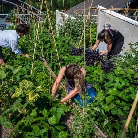atelier récolte et entretien des légumes du potager