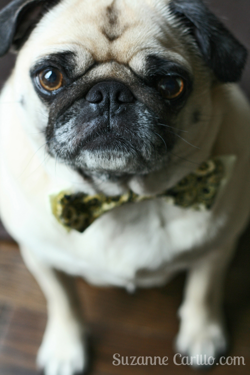 Happy New Year pug!