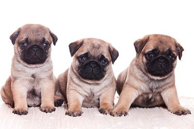 3 pug puppies