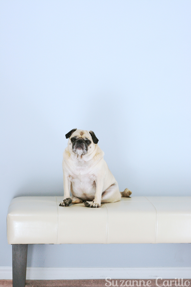 zoe-pug-sitting-on-bench-suzanne-carillo