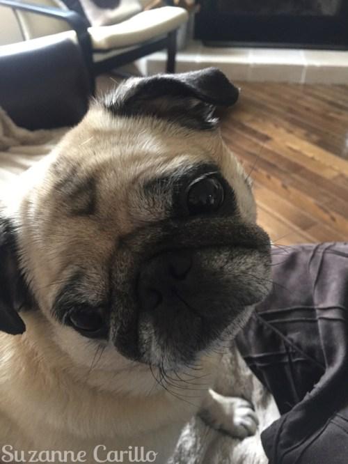 cute pug zoe march 28 2018