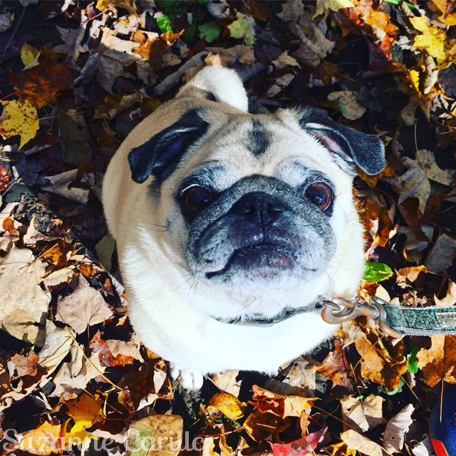 pug in leaves fall pug