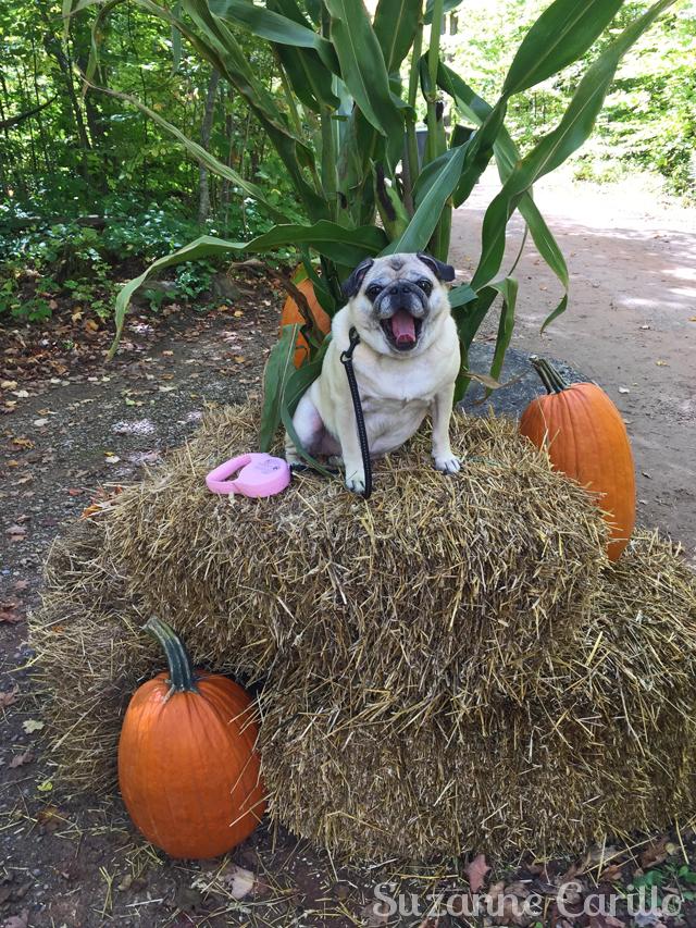 zoe the fall pug suzanne carillo style