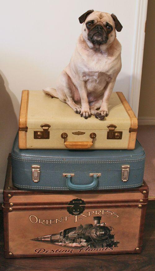 Zoe on vintage suitcases pug