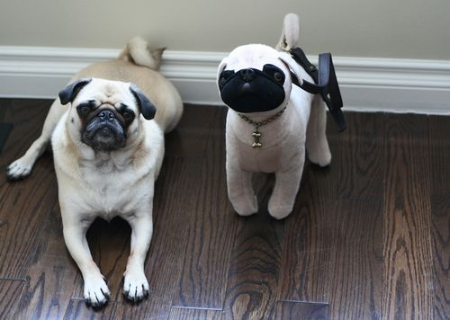Pug bag and real pug zoe
