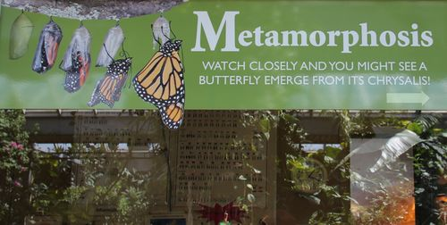 Metamorphosis butterflies