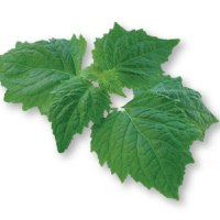10 Recipes with Patchouli Essential Oil - Pogostemon cablin