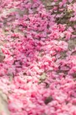 Fallen Pink Flower Petals in Peach Tree Orchard