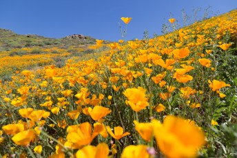 California_poppies-154