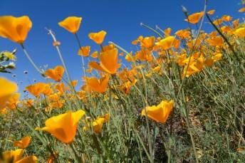 California_poppies-173