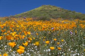 California_poppies-180