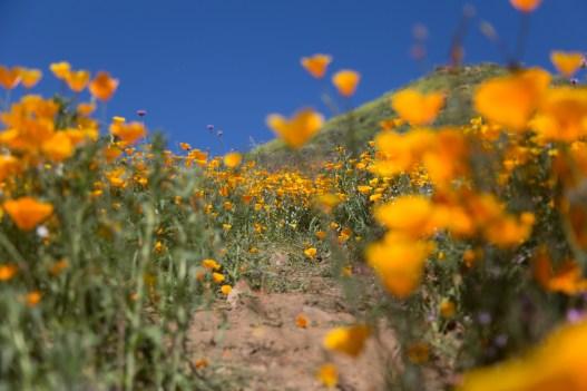 California_poppies-190