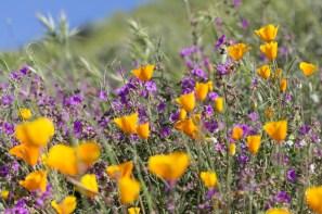California_poppies-39