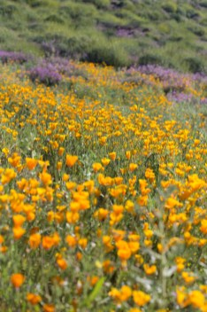 California_poppies-5